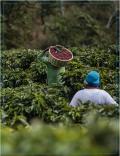 Café Décaféiné du Mexique - Chiapas